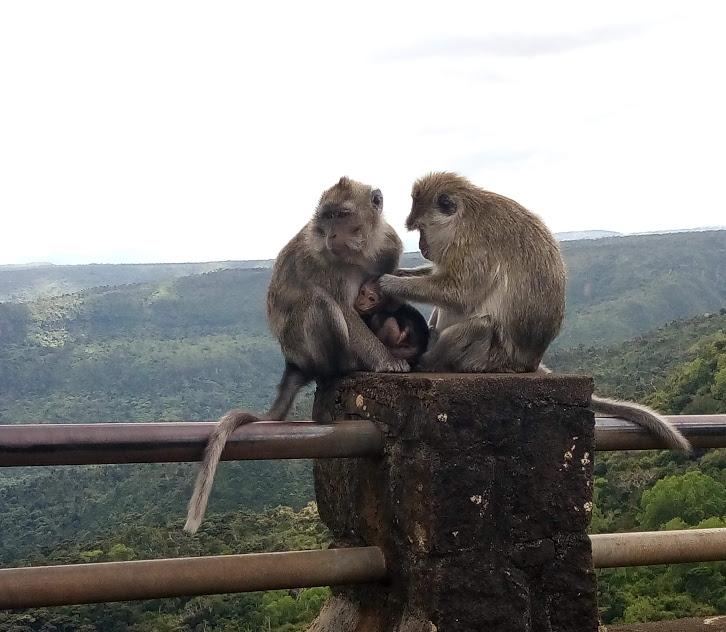 singes gorges de la Rivière Noire
